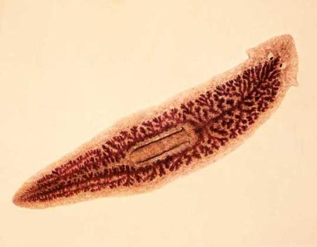 паразиты в желудке человека