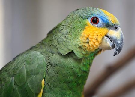 как познакомить попугаев разных пород