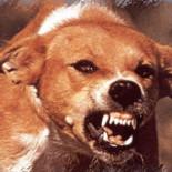 Признаки, симптомы, стадии бешенства у собак