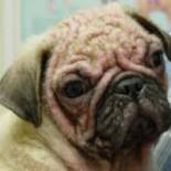Симптомы и лечение демодекоза у собак