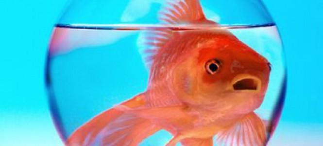 Заболевания золотых рыбок: виды, симптомы, способы лечения