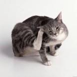 Симптомы и лечение кошачьих блох