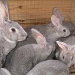 Болезни кроликов: классификация, симптомы, лечение