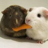 Заболевания морских свинок: виды, симптомы, способы лечения