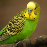 Симптомы, причины и лечение заболеваний волнистых попугаев