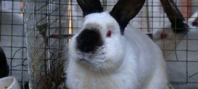 Кролик калифорнийской породы: особенности, содержание, разведение