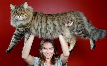 Большой кот