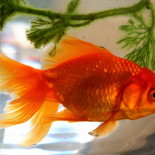 Золотые рыбки аквариумные: виды, содержание, размножение, совместимость с другими