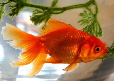 Золотые рыбки аквариумные: виды, содержание, размножение ...