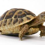 Сухопутные черепахи: уход и содержание в домашних условиях