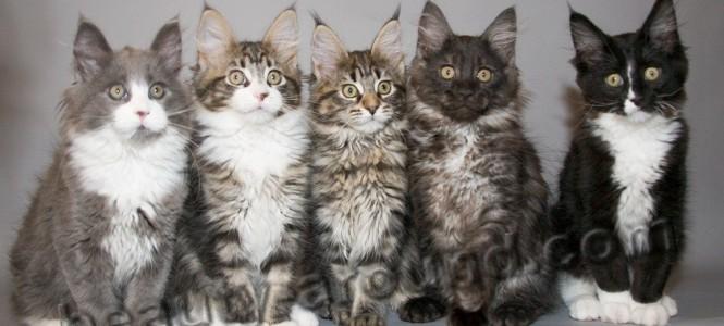 Особенности породы кошек мейн кун