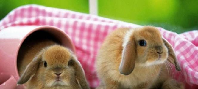 Уход за декоративным кроликом: содержание и кормление