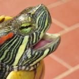 Особенности содержания красноухой черепахи в домашних условиях