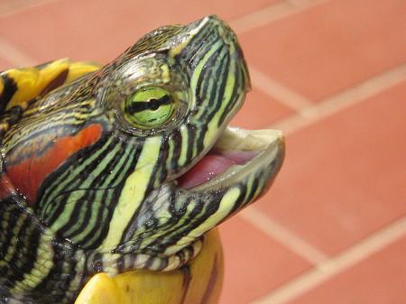 Хозяина счастливая черепаха