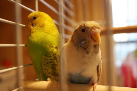 Попугаи дома