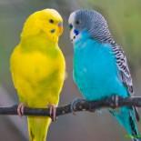 Продолжительность жизни волнистых попугаев дома: как продлить