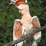 Разновидности попугаев какаду и особенности ухода
