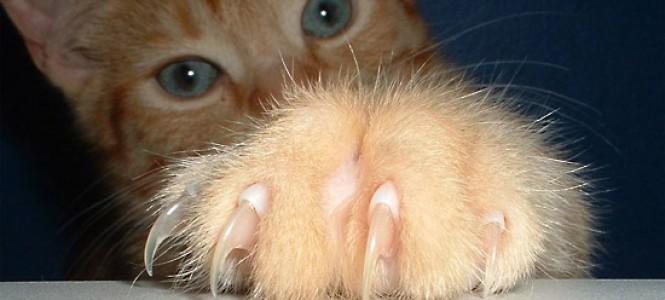 Как обрезать коту когти
