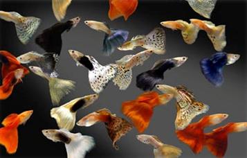 Размножение гуппи