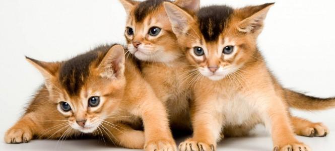 Порода абиссинских кошек: особенности содержания