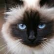 бирманские кошки особенности породы