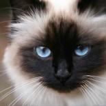 Бирманская кошка: особенности породы
