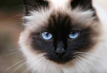 Взгляд бирманской кошки