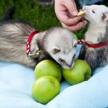 Выбираем корм для хорька: особенности питания