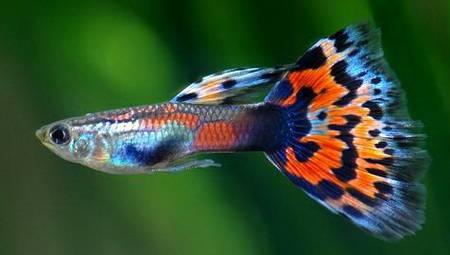Рыбка гуппи в аквариуме