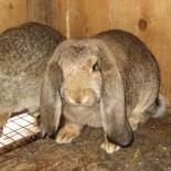 Особенности различных видов кроликов породы баран