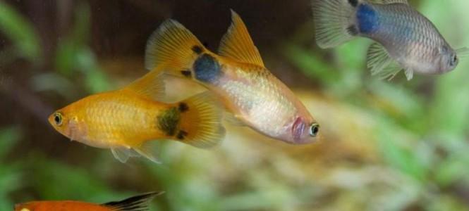 Живородящие аквариумные рыбки: виды, особенности ухода