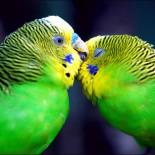 Как узнать возраст волнистого попугая