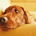 Как, зачем и в каком возрасте делают стерилизацию собак