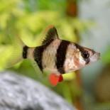 Правильное содержание аквариумных рыбок барбусов
