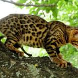 Кошки бенгальской породы: содержание, разведение, особенности