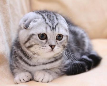 Коты британской вислоухой породы