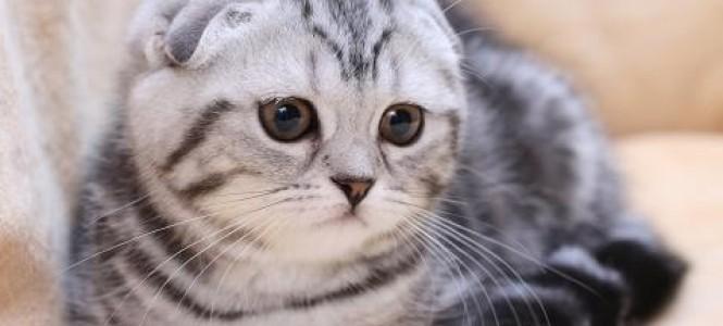 Котята британцы: разновидности и особености породы