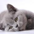 британская голубая короткошерстная кошка