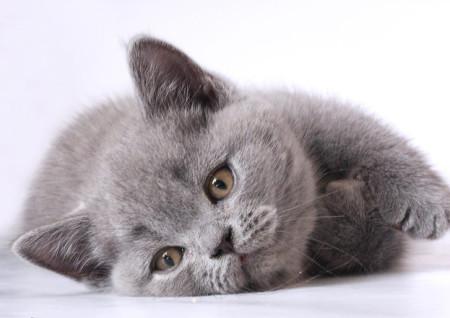 Истинный британец: откуда появились британские кошки ... | 318x450