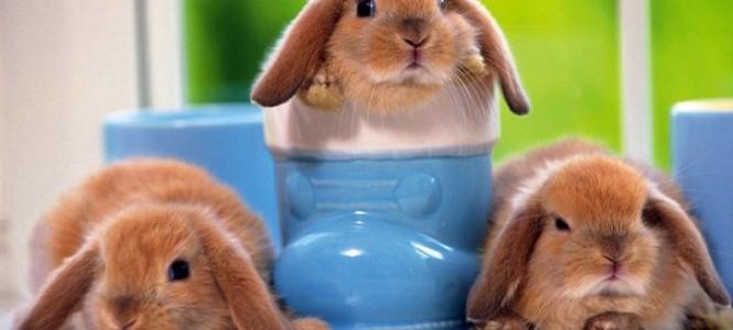 Декоративные карликовые кролики: особенности и разновидности