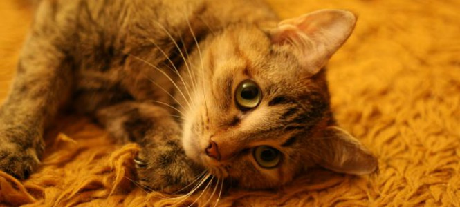 Как вывести запах кошачьей мочи: устраняем правильно