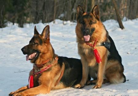 Собаки после вязки