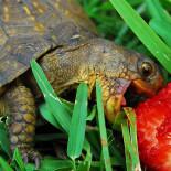 Чем кормить сухопутную и красноухую черепаху