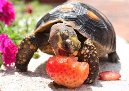 питание сухопутных черепах