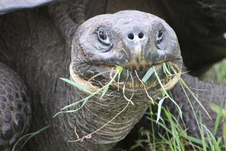 питание сухопутные черепахи