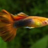 Аквариумные рыбы гуппи: размножение, совместимость, особенности содержания