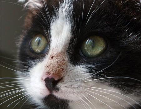 кальцивироз у кошек симптомы