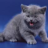 Как и чем кормить британского котенка