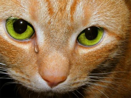 кошачьи заболевания глаз