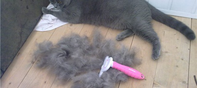 У кота или кошки выпадает шерсть: что делать?